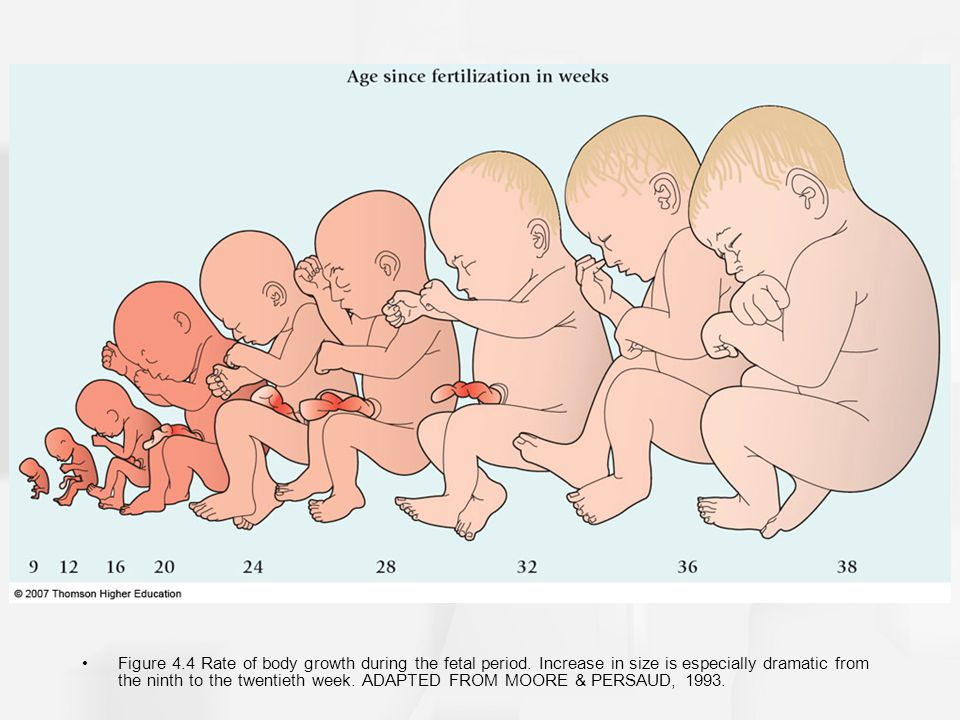 Figure 4. 4 Rate of body growth during the fetal period