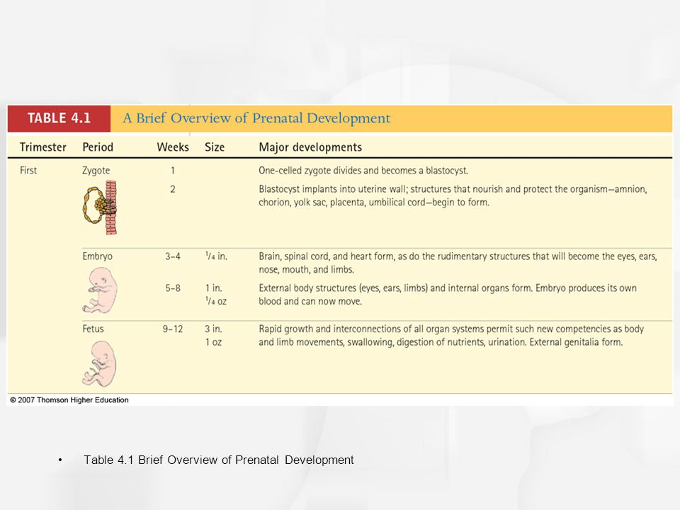 Table 4.1 Brief Overview of Prenatal Development