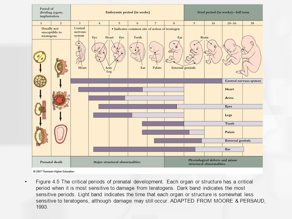 Figure 4. 5 The critical periods of prenatal development