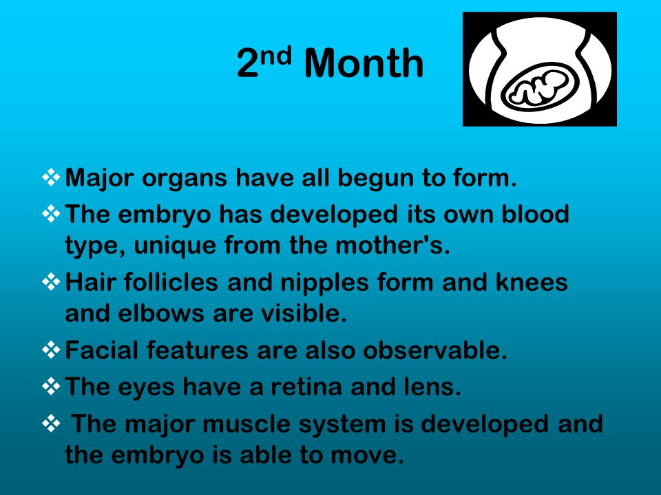 2nd Month Major organs have all begun to form.