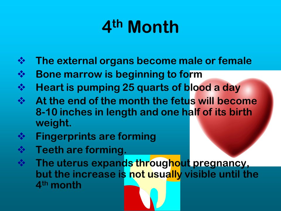 4th Month The external organs become male or female
