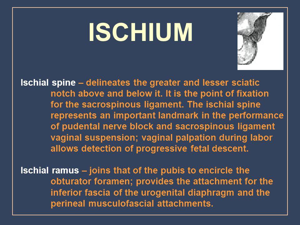 ISCHIUM Ischial spine – delineates the greater and lesser sciatic