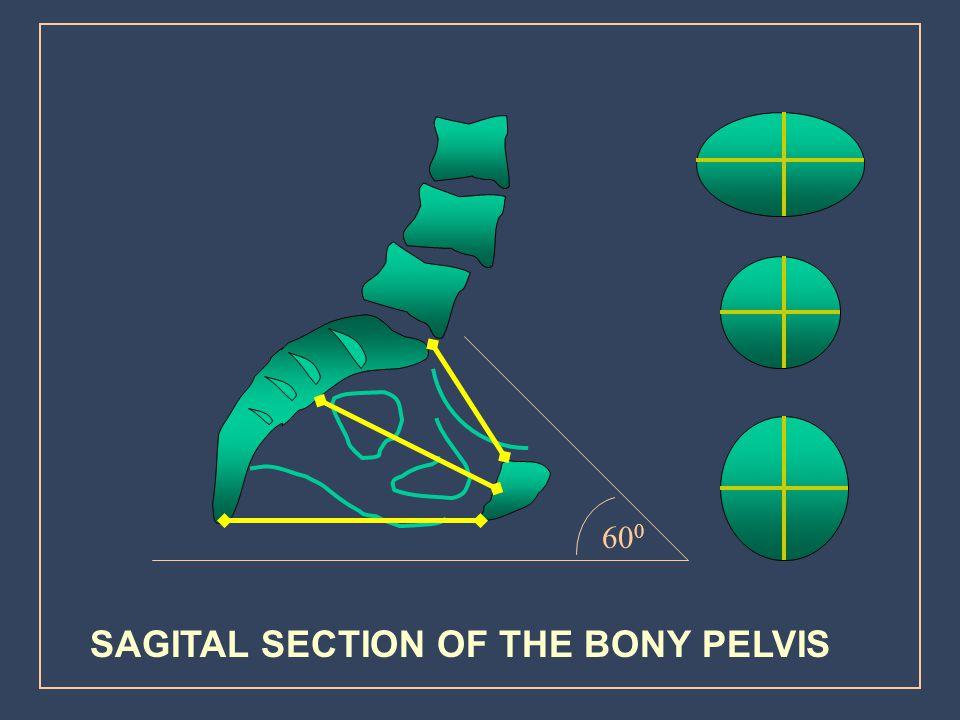 SAGITAL SECTION OF THE BONY PELVIS