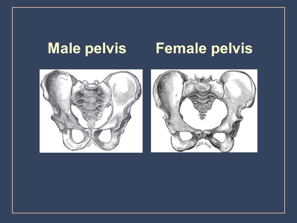Male pelvis Female pelvis
