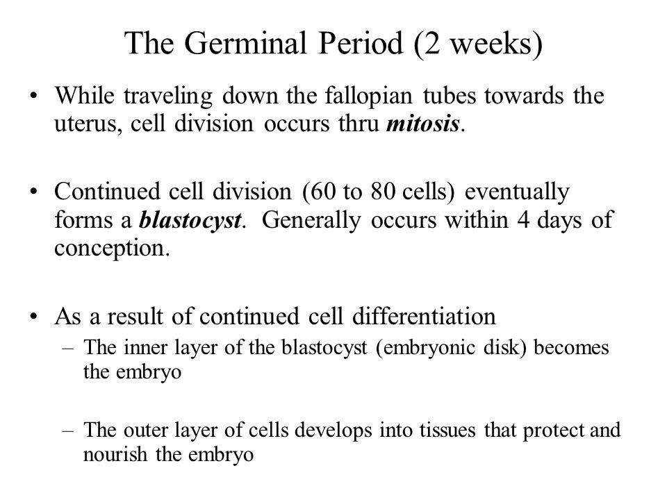 The Germinal Period (2 weeks)