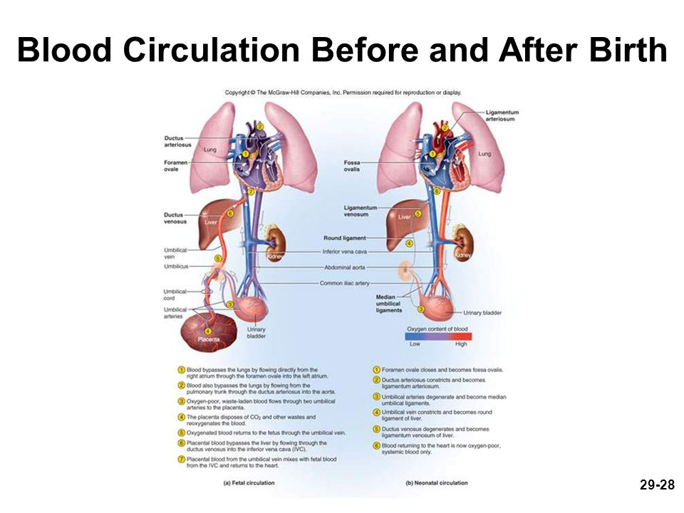 Blood Circulation Before and After Birth