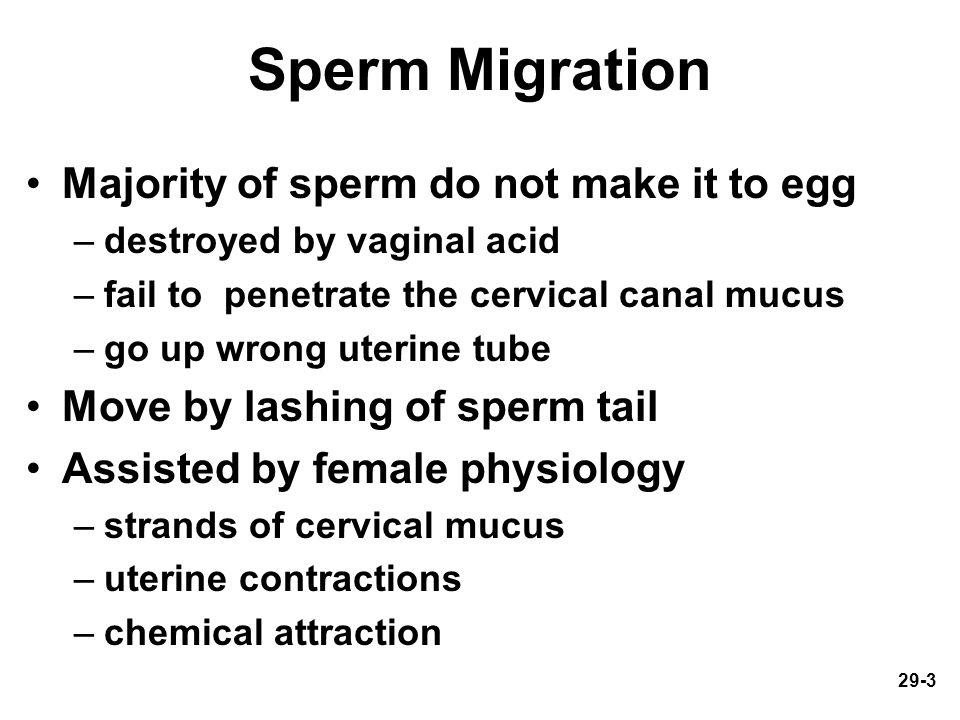 Sperm Migration Majority of sperm do not make it to egg