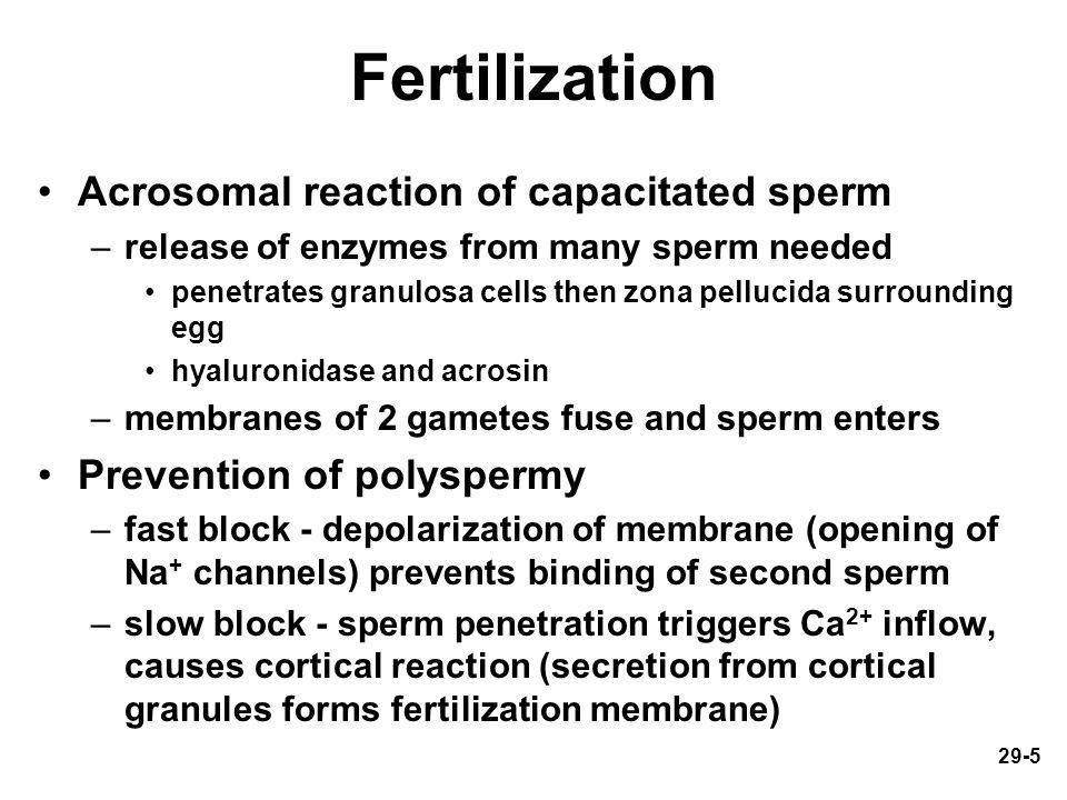 Fertilization Acrosomal reaction of capacitated sperm