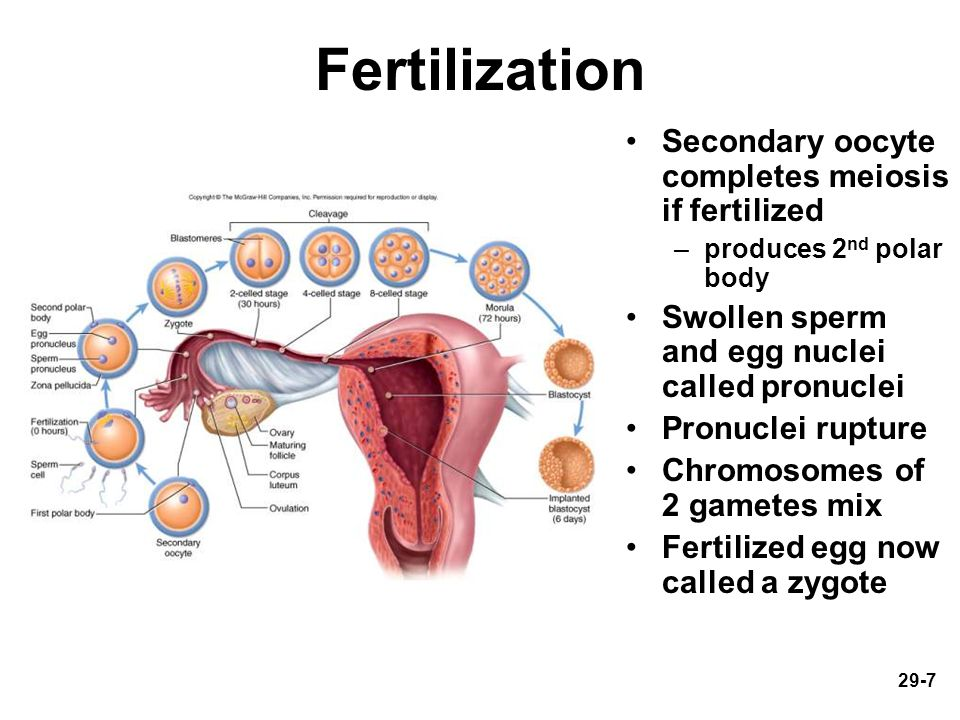 Fertilization Secondary oocyte completes meiosis if fertilized