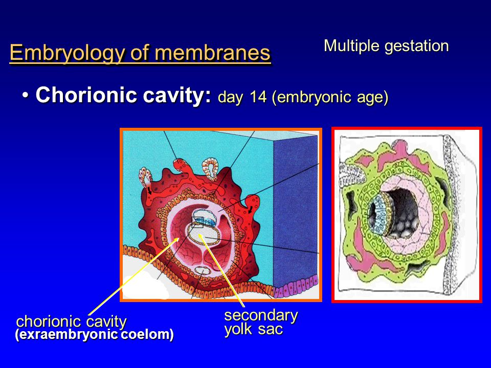 Embryology of membranes