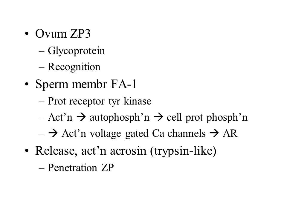 Release, act'n acrosin (trypsin-like)