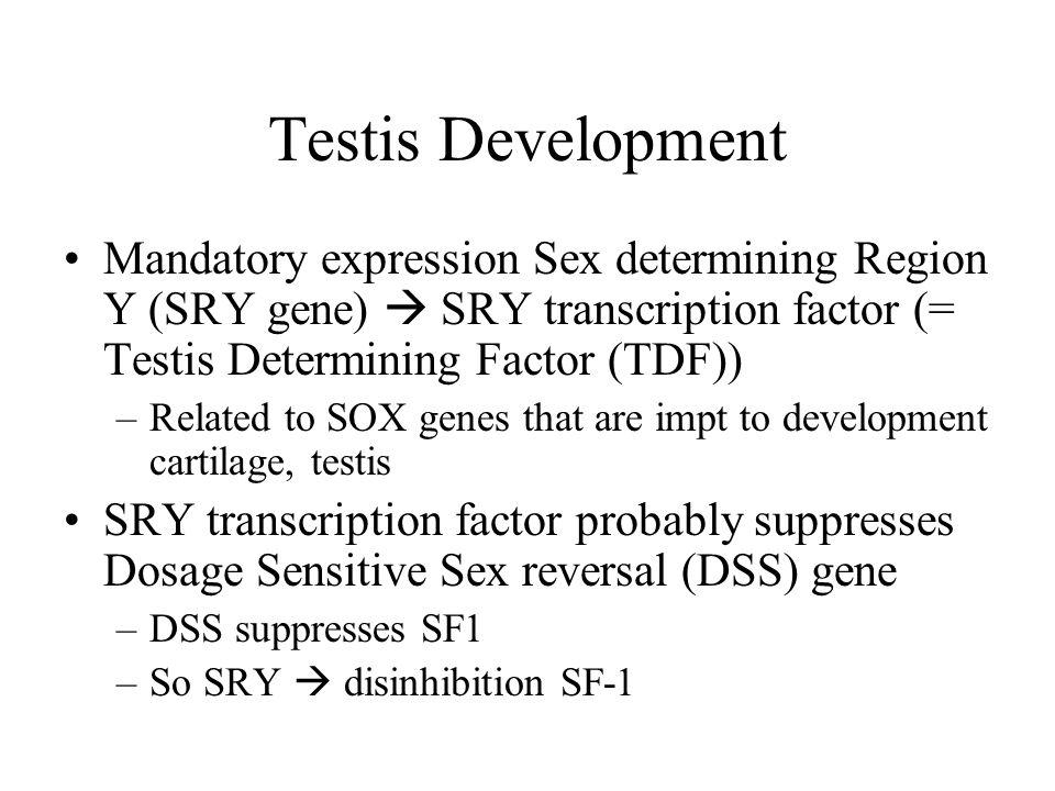 Testis Development Mandatory expression Sex determining Region Y (SRY gene)  SRY transcription factor (= Testis Determining Factor (TDF))