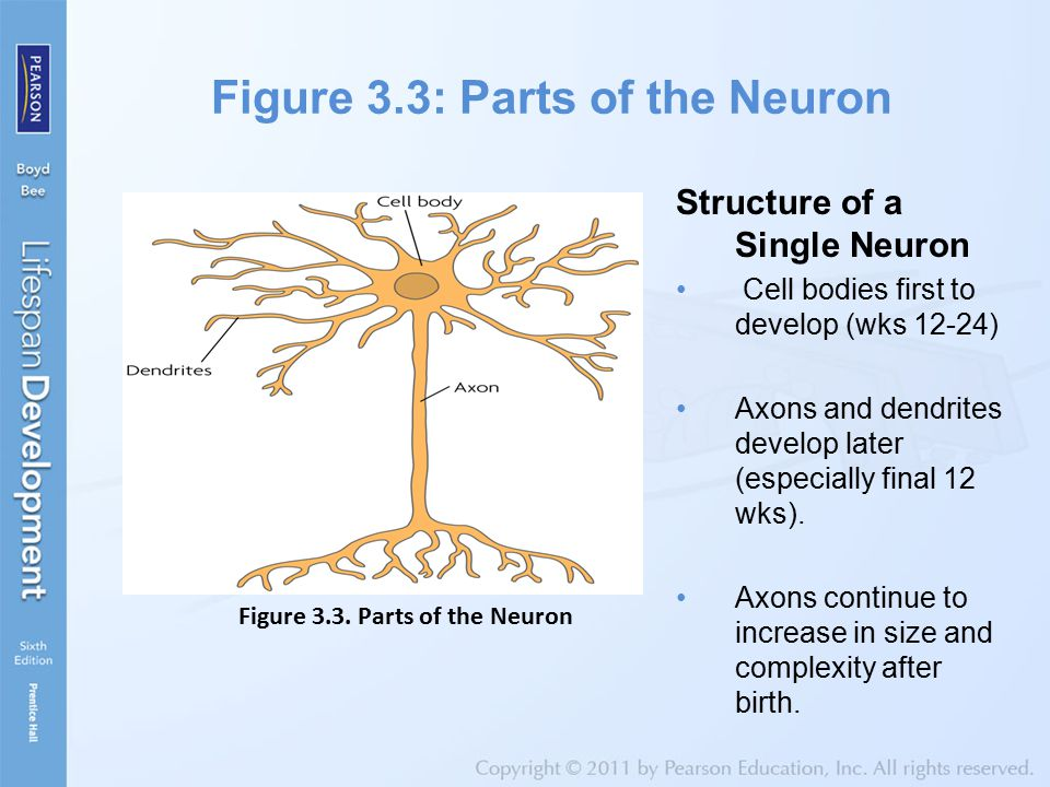 Figure 3.3: Parts of the Neuron