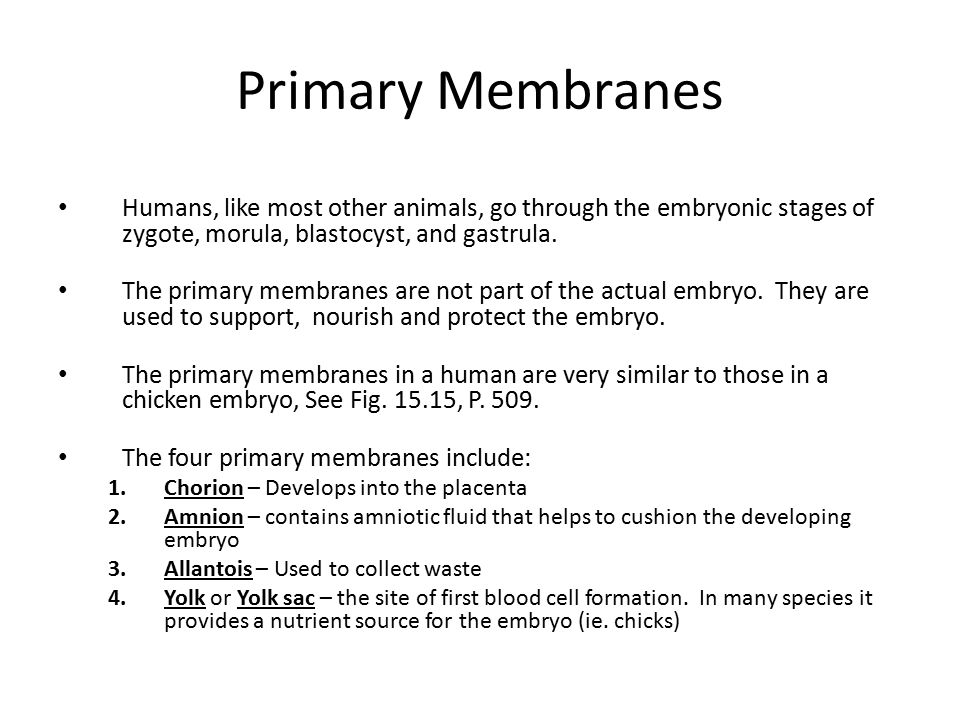 Primary Membranes Humans, like most other animals, go through the embryonic stages of zygote, morula, blastocyst, and gastrula.
