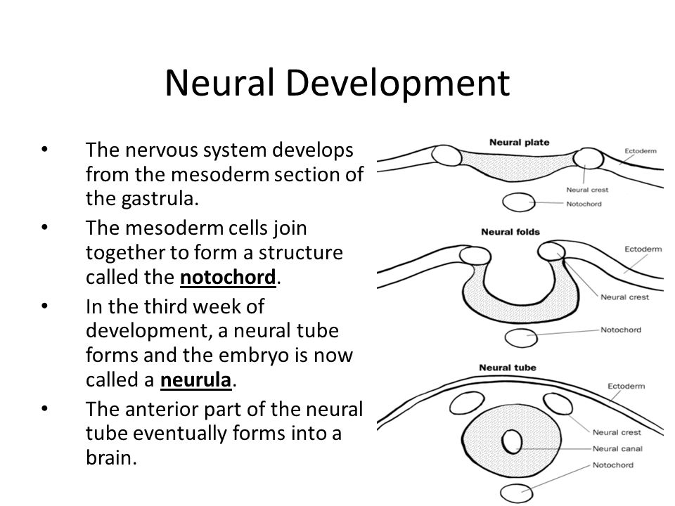 Neural Development The nervous system develops from the mesoderm section of the gastrula.