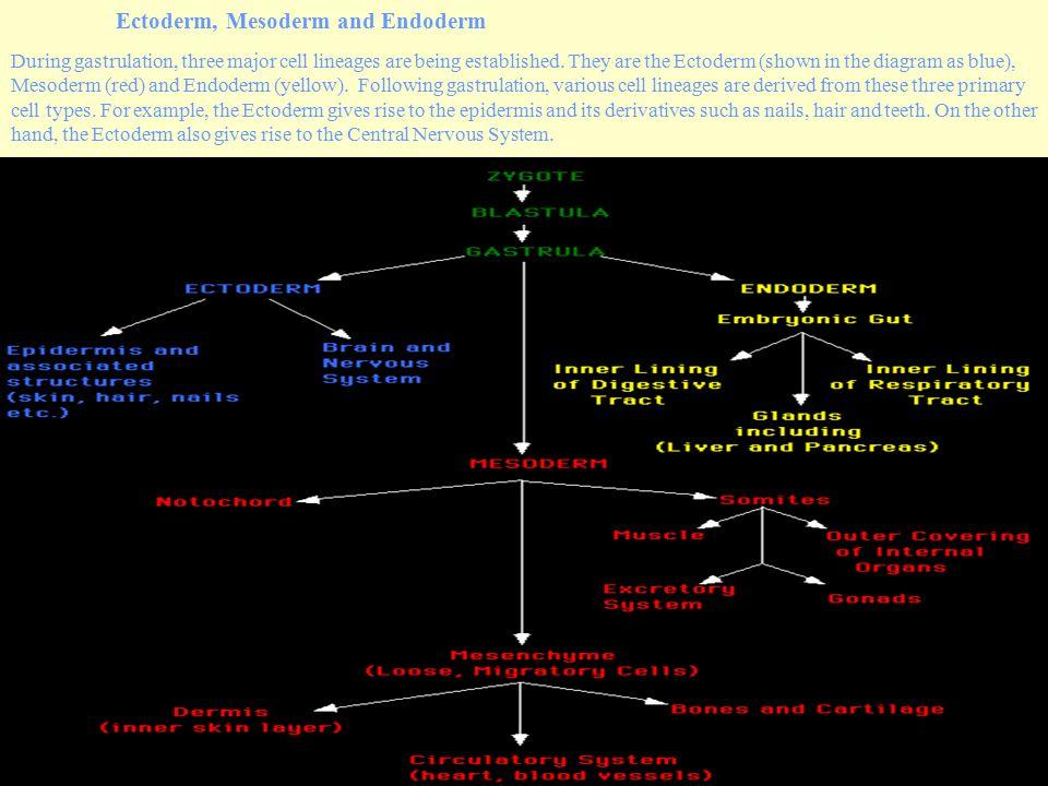 Ectoderm, Mesoderm and Endoderm