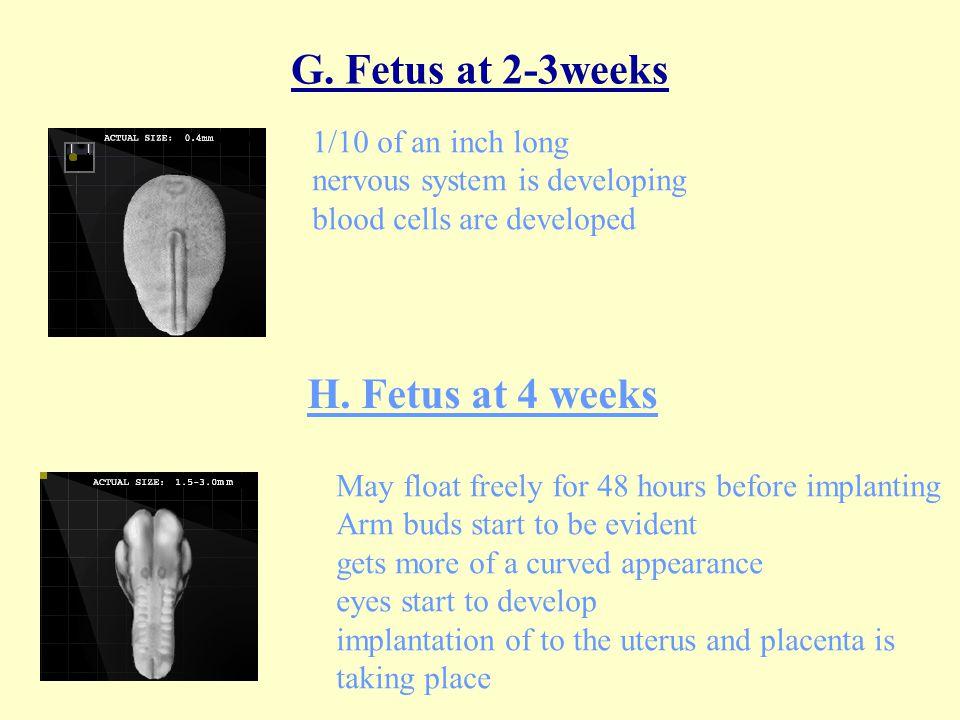 G. Fetus at 2-3weeks H. Fetus at 4 weeks 1/10 of an inch long