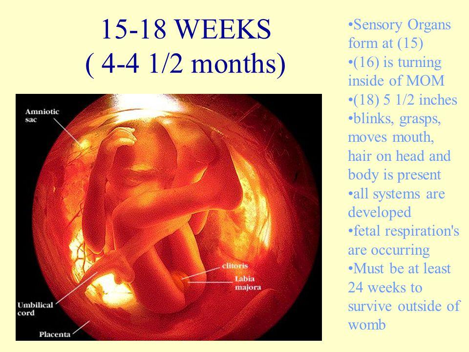 15-18 WEEKS ( 4-4 1/2 months) Sensory Organs form at (15)