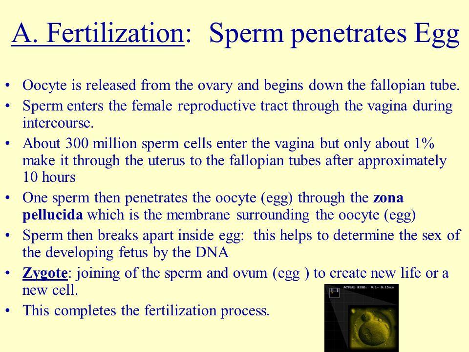 A. Fertilization: Sperm penetrates Egg