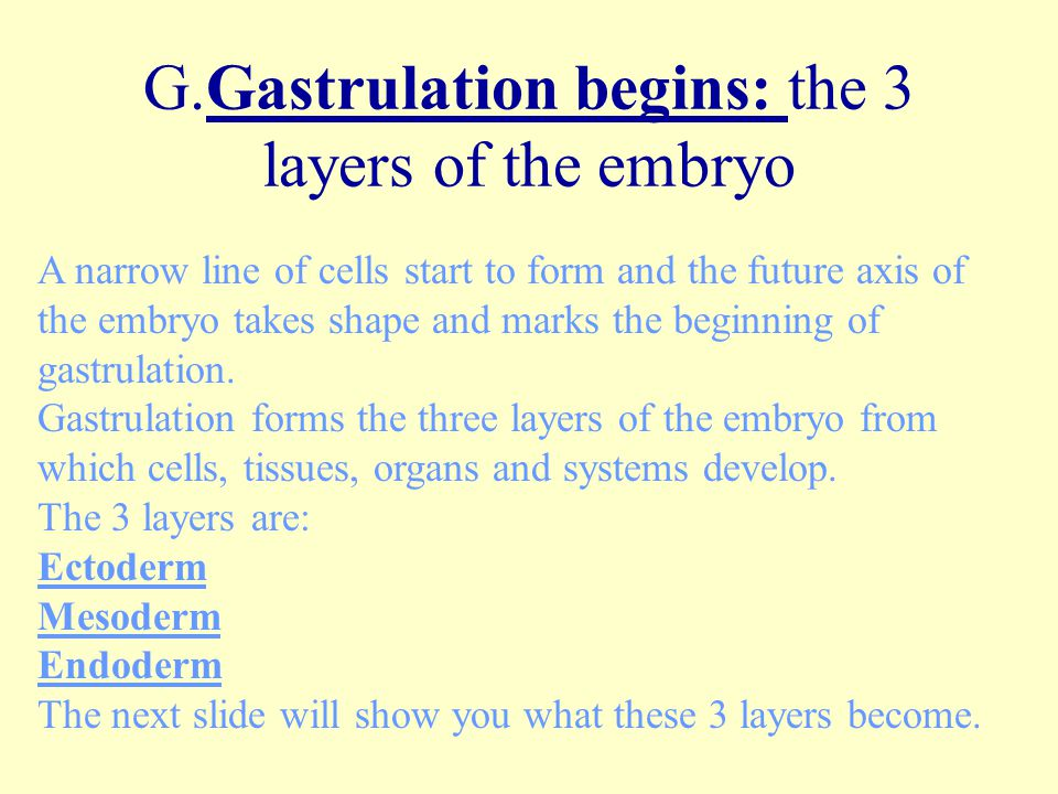 G.Gastrulation begins: the 3 layers of the embryo