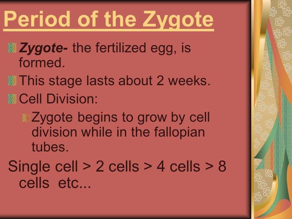 Period of the Zygote Zygote- the fertilized egg, is formed. This stage lasts about 2 weeks. Cell Division: