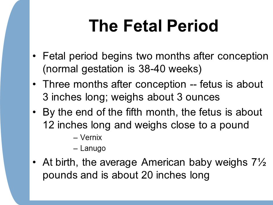 The Fetal Period Fetal period begins two months after conception (normal gestation is 38-40 weeks)