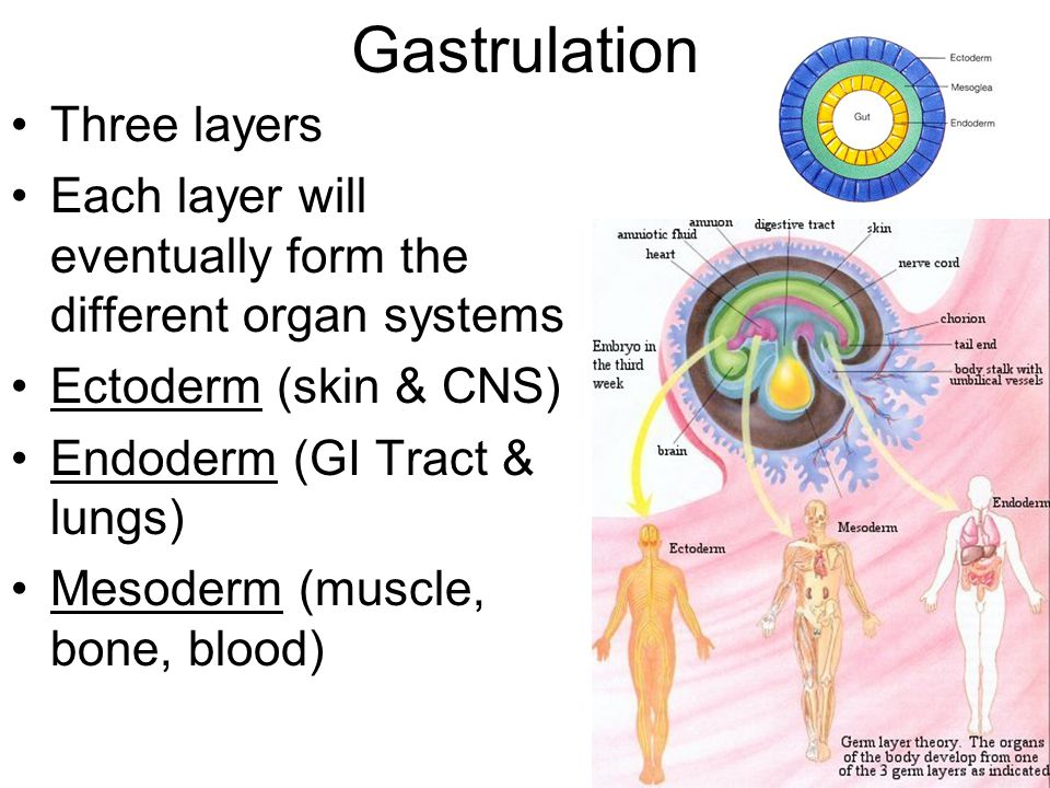 Gastrulation Three layers