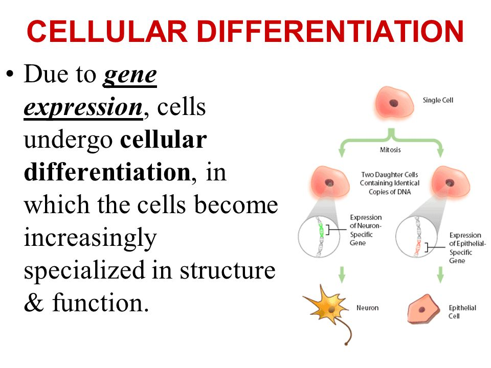 CELLULAR DIFFERENTIATION