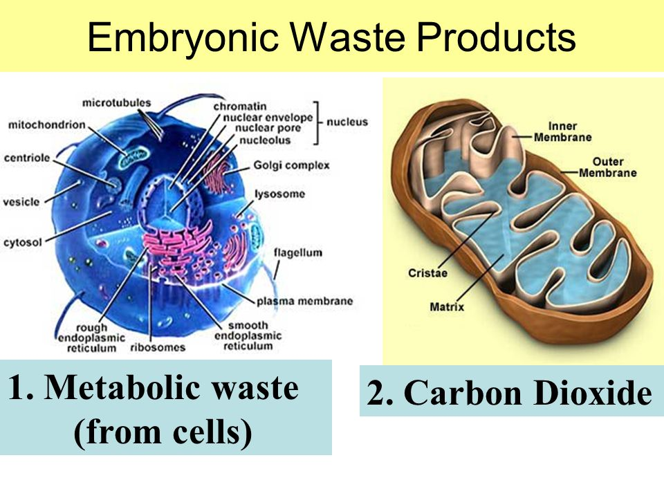 Embryonic Waste Products