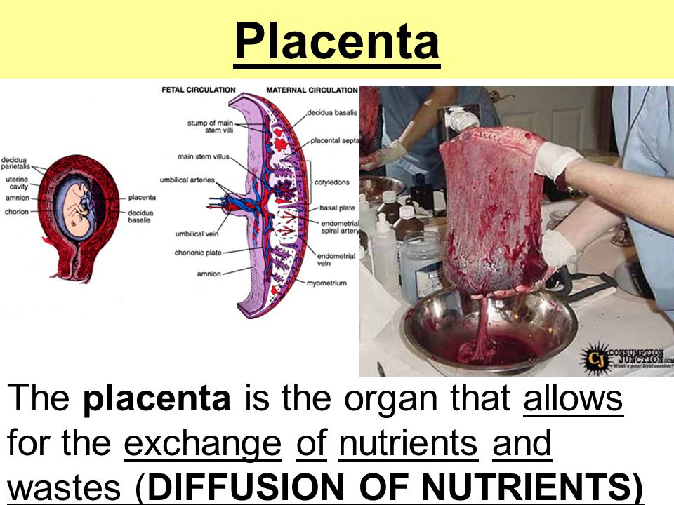 Placenta The placenta is the organ that allows for the exchange of nutrients and wastes (DIFFUSION OF NUTRIENTS)