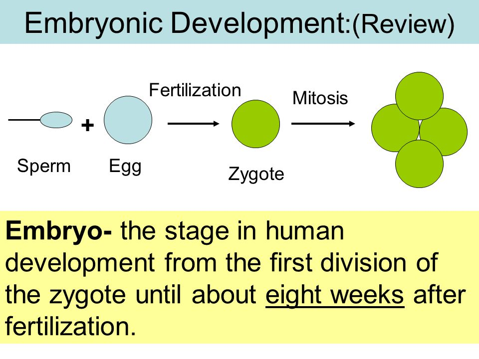 Embryonic Development:(Review)