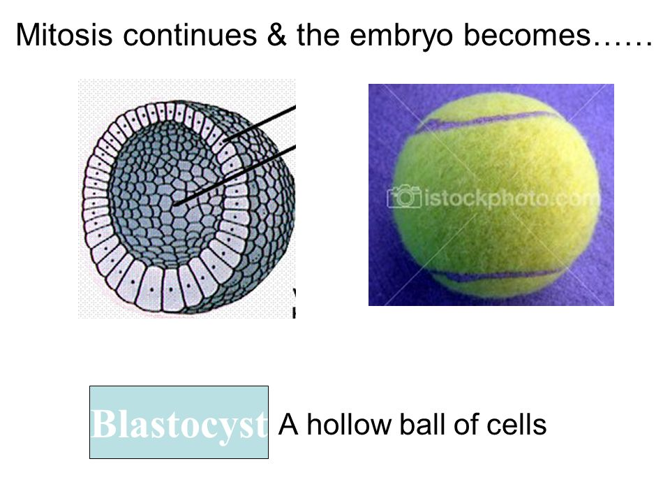 Mitosis continues & the embryo becomes……