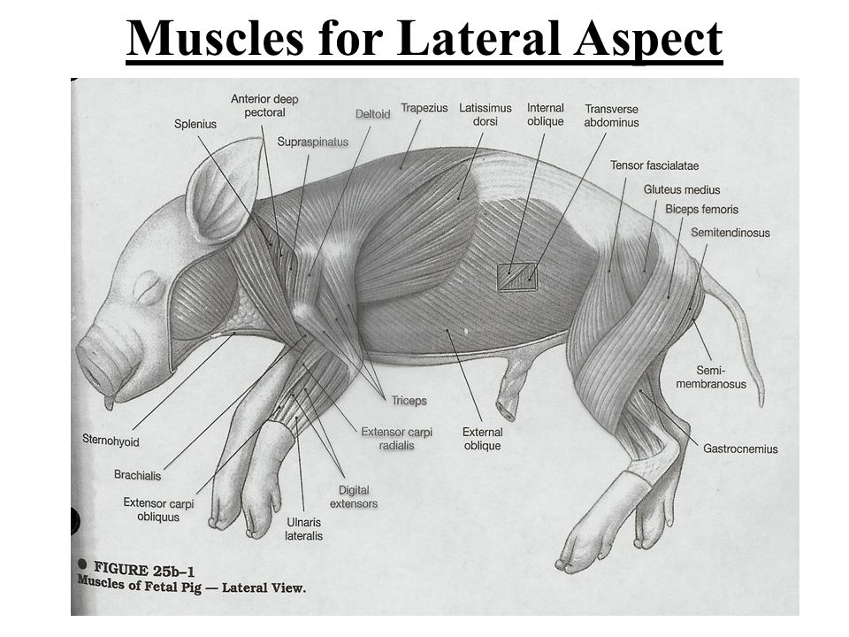 Muscles for Lateral Aspect
