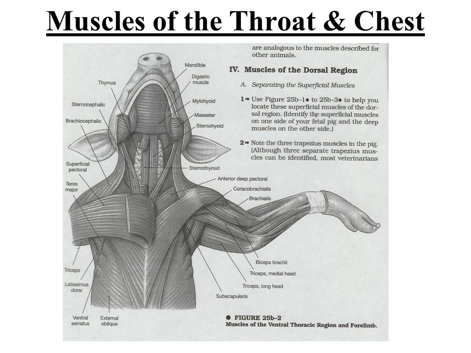 Muscles of the Throat & Chest