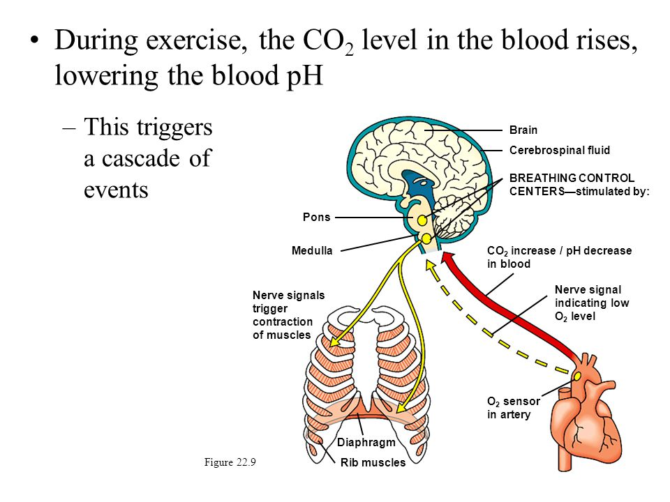 During exercise, the CO2 level in the blood rises, lowering the blood pH