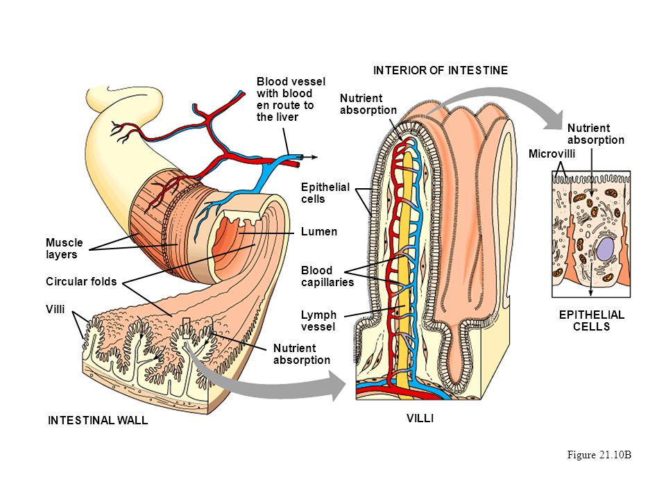 INTERIOR OF INTESTINE Blood vessel with blood en route to the liver. Nutrient absorption. Nutrient absorption.
