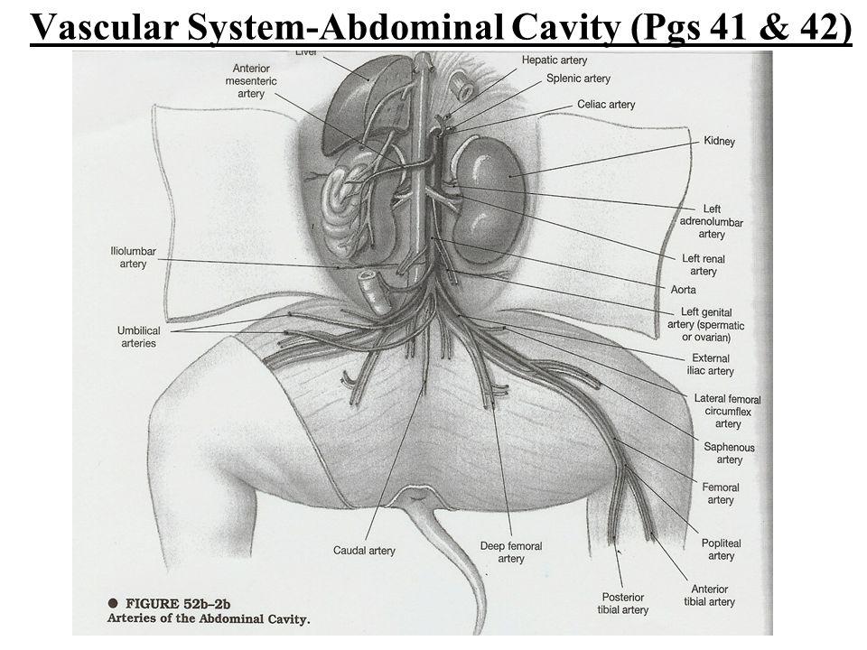 Vascular System-Abdominal Cavity (Pgs 41 & 42)
