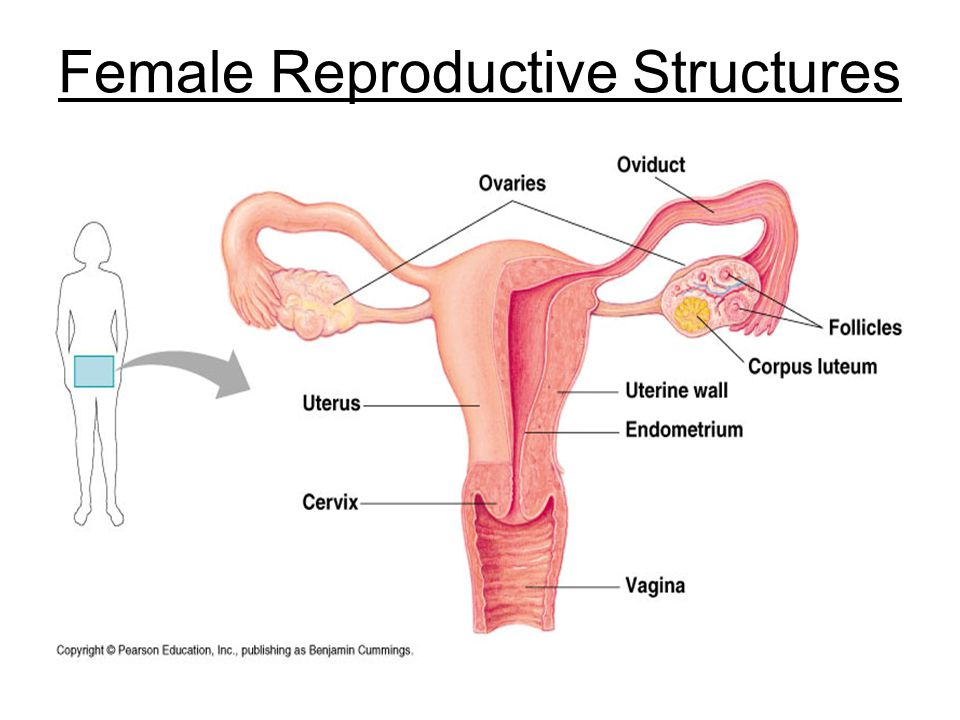 Female Reproductive Structures