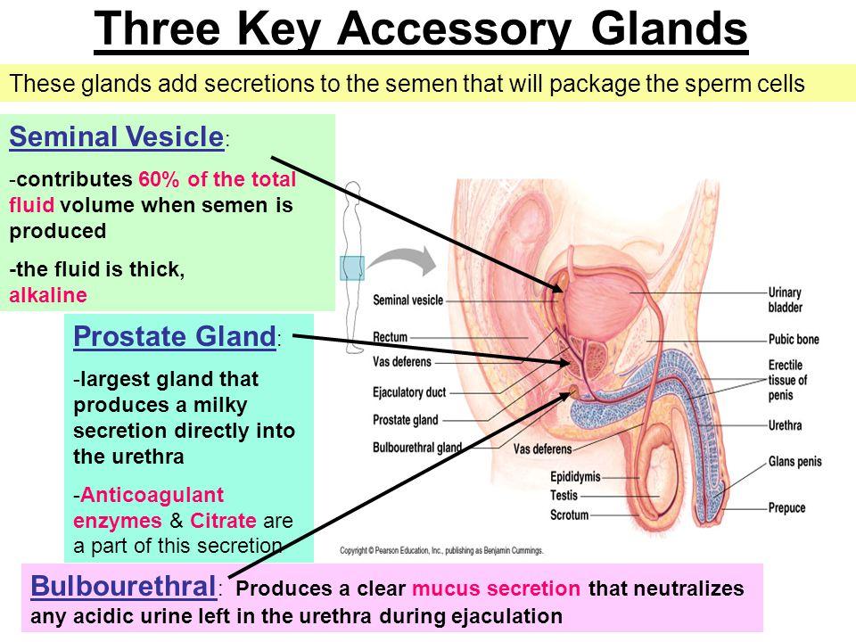 Three Key Accessory Glands