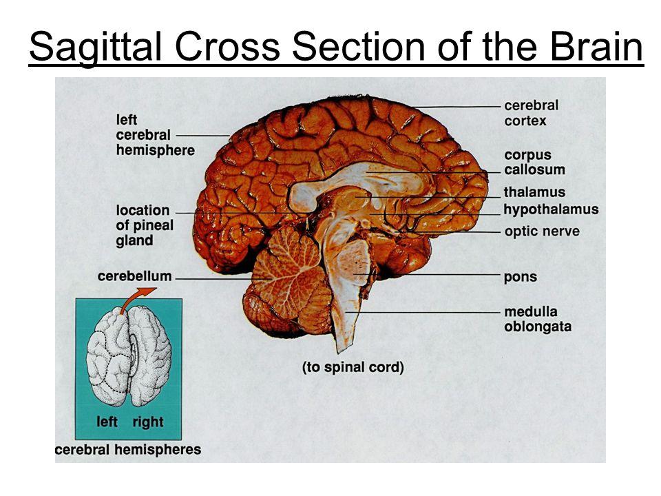 Sagittal Cross Section of the Brain