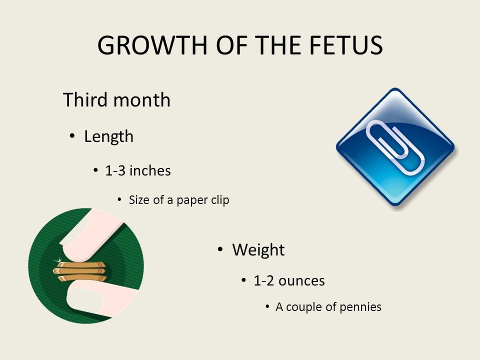 GROWTH OF THE FETUS Third month Length Weight 1-3 inches 1-2 ounces