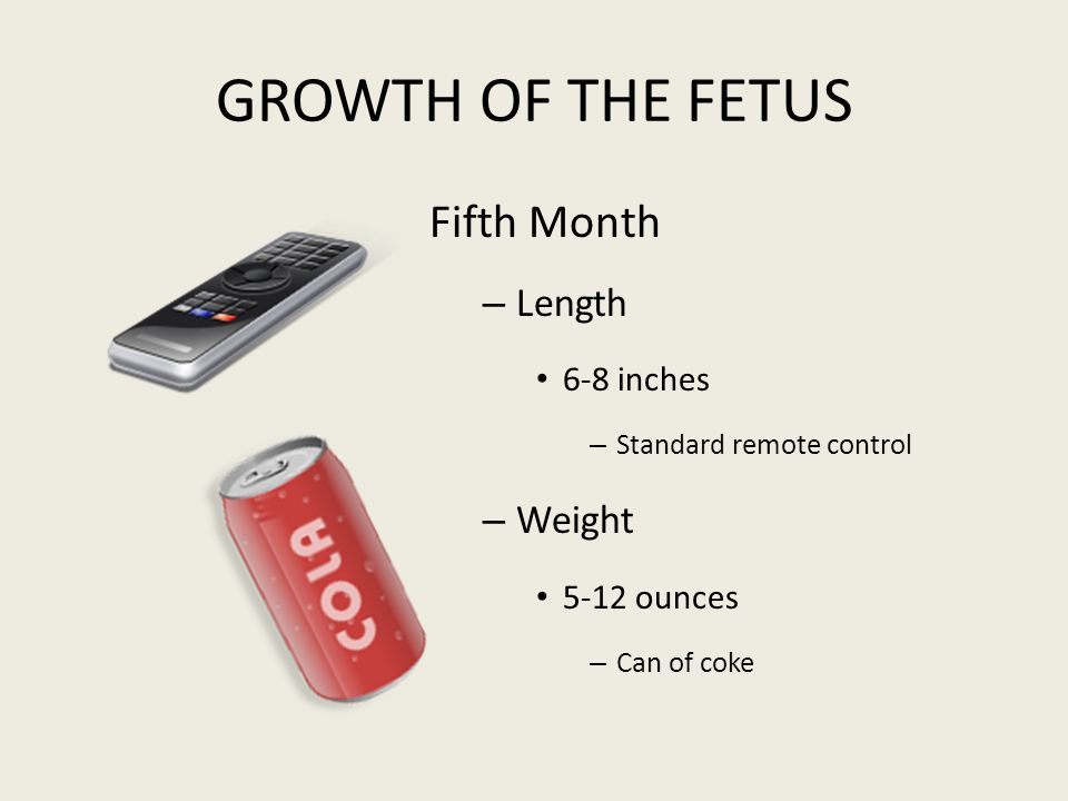 GROWTH OF THE FETUS Fifth Month Length Weight 6-8 inches 5-12 ounces