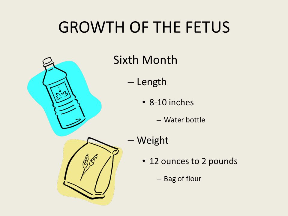 GROWTH OF THE FETUS Sixth Month Length Weight 8-10 inches