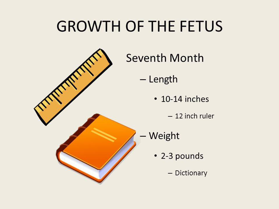 GROWTH OF THE FETUS Seventh Month Length Weight 10-14 inches