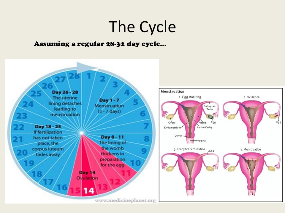 The Cycle Assuming a regular 28-32 day cycle…