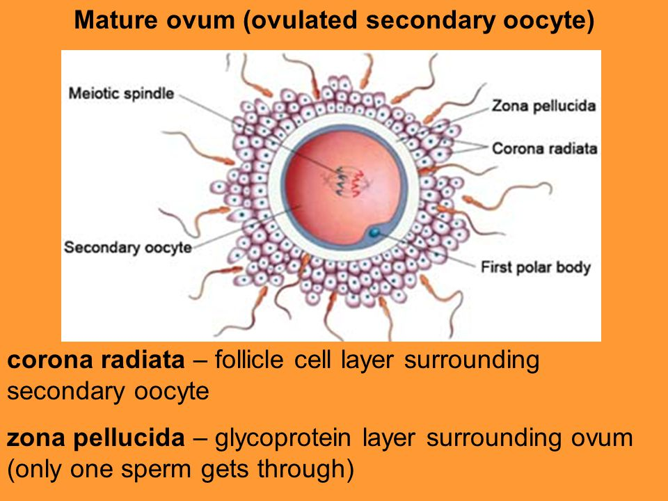 Magnificent human sperm mammalian oocyte interaction final