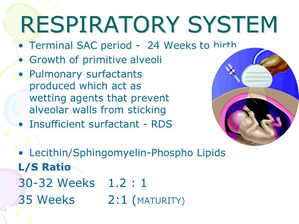 RESPIRATORY SYSTEM 30-32 Weeks 1.2 : 1 35 Weeks 2:1 (MATURITY)