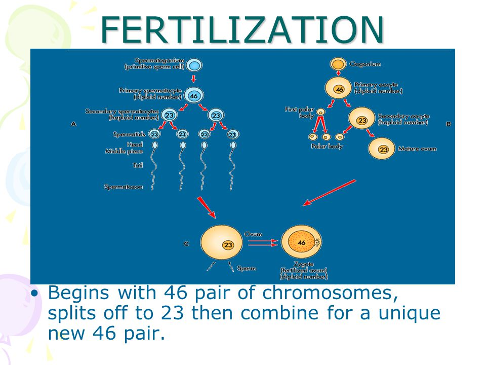 FERTILIZATION Begins with 46 pair of chromosomes, splits off to 23 then combine for a unique new 46 pair.