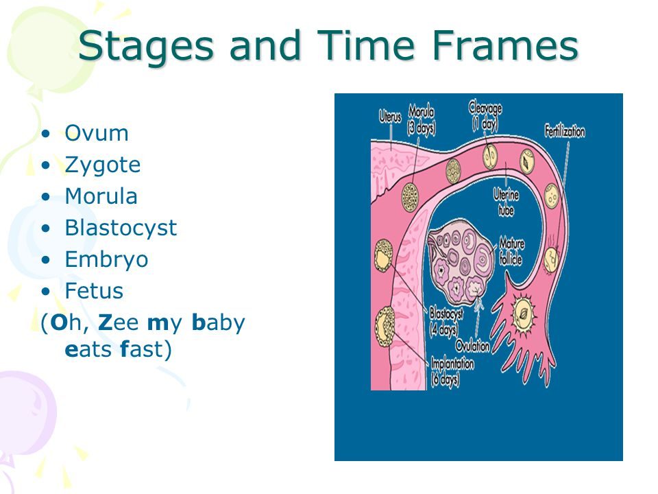 Stages and Time Frames Ovum Zygote Morula Blastocyst Embryo Fetus