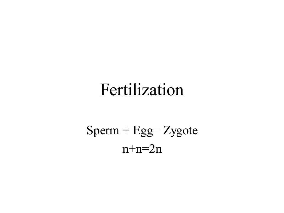 Sperm + Egg= Zygote n+n=2n